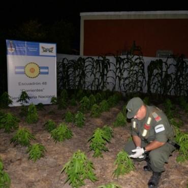 A metros de Prefectura, una huerta de marihuana